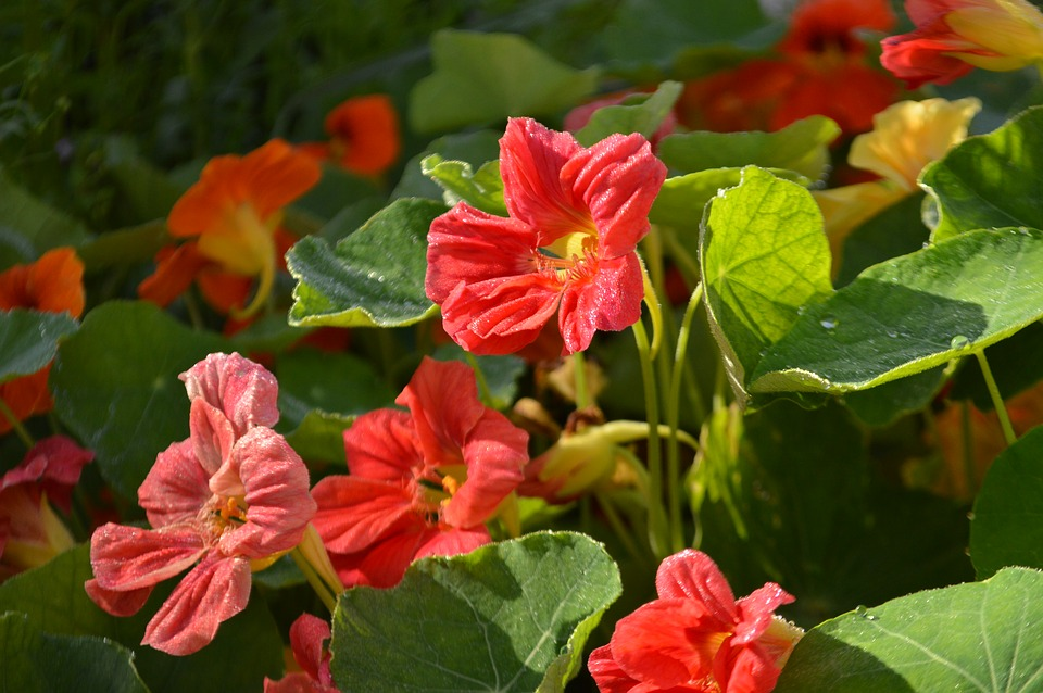 Выращивание настурции на садовом участке