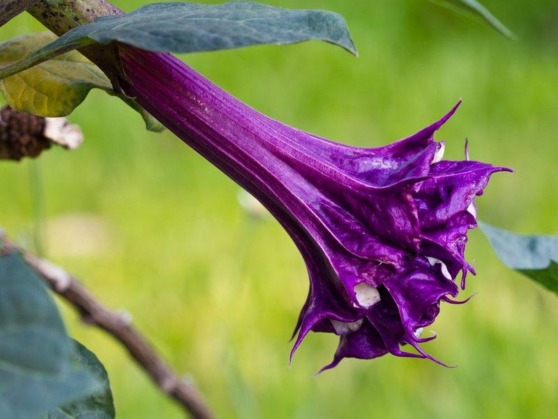 Дурман выращивание и уход в вашем саду