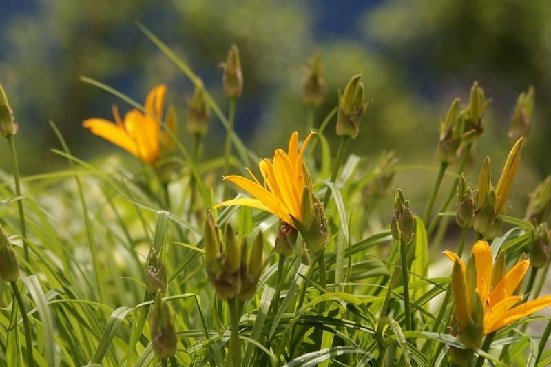 Красоднев желтый (лилейник жёлтый) — описание вида, лечебные свойства