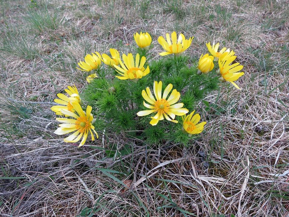 Адонис весенний (Горицвет) — описание цветка, лечебные свойства