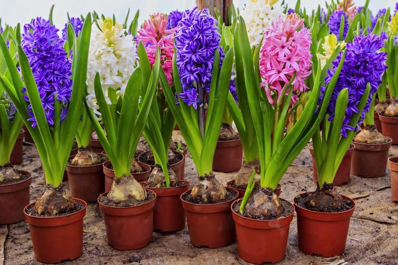 Гиацинты — выращивание и уход в домашних условиях