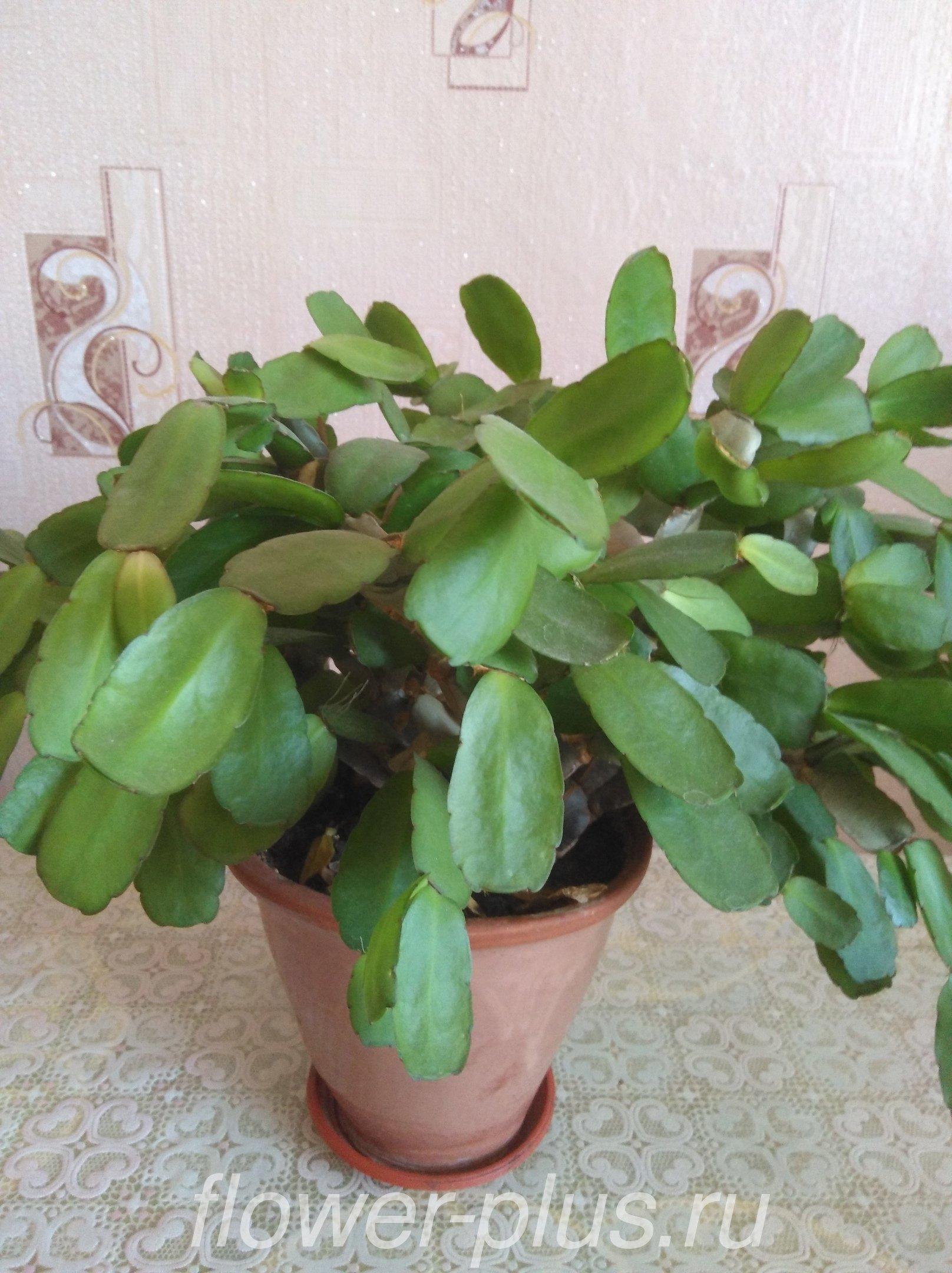 Почему у декабриста вянут и опадают листья (теряется упругость) — как помочь растению