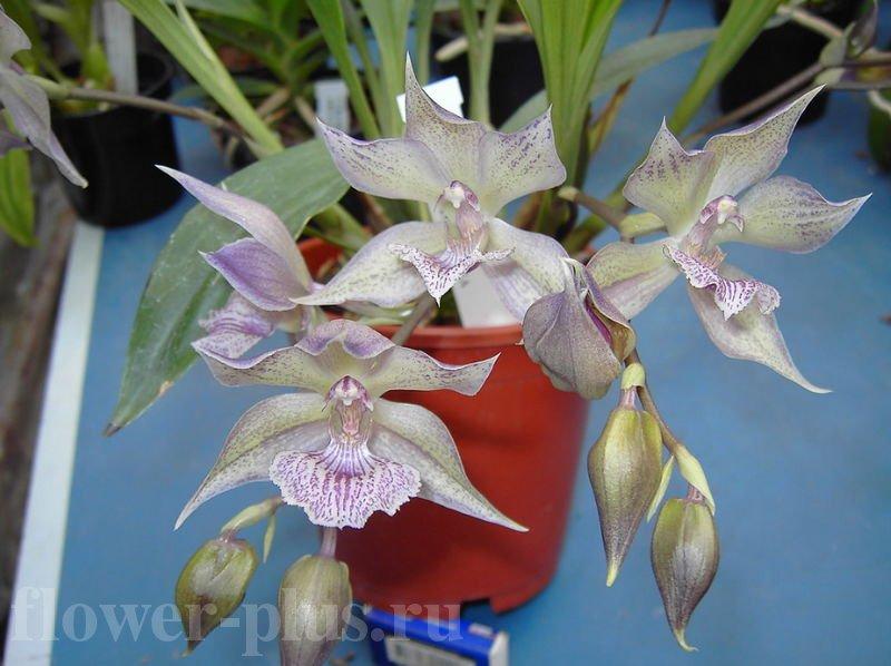 Орхидея Акакалис (Аганизия) — выращивание и уход в домашних условиях