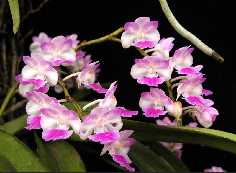 Орхидея Аэридес (Aerides) — уход в домашних условиях