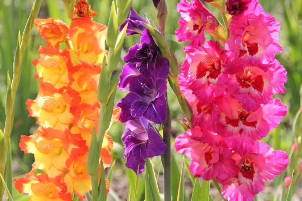 Выращивание гладиолусов на садовом участке — полезные советы