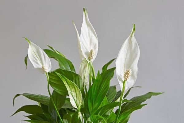 5 растений для дома, которые хорошо очищают воздух