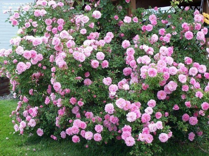 Один из лучших сортов роз для России — морозоустойчивые канадские розы