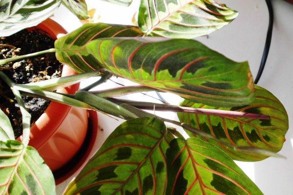 Цветок маранта — уход в домашних условиях, краткое описание