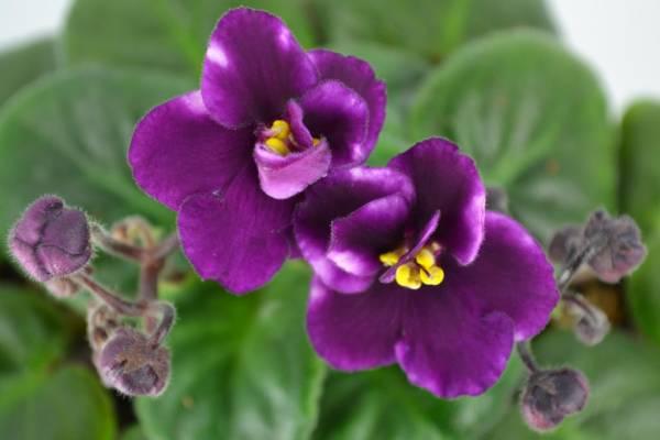Фиалка: уход за растением кратко (в домашних условиях)