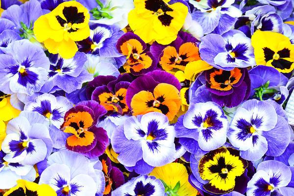 Виола: выращивание и уход в домашних условиях