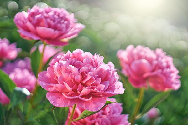 Все о цветении пионов: уход и выращивание красивых бутонов