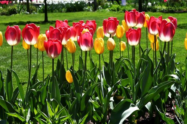 Тюльпаны: краткая информация по уходу и выращиванию