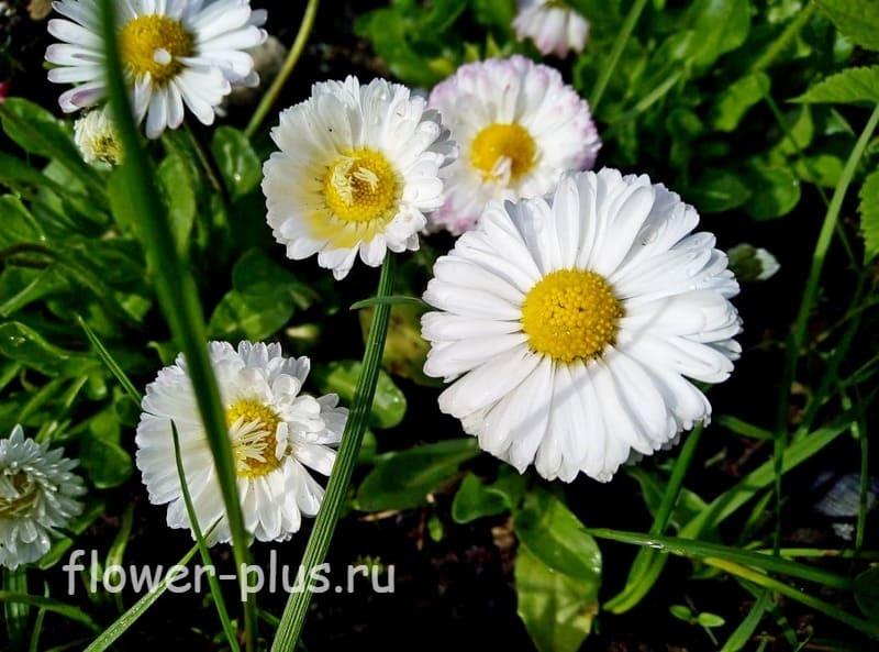 Маргаритки: уход и выращивание в домашних условиях