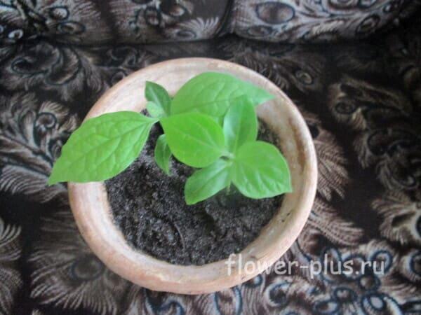 Как правильно посадить хурму из косточки в домашних условиях, чтобы были плоды