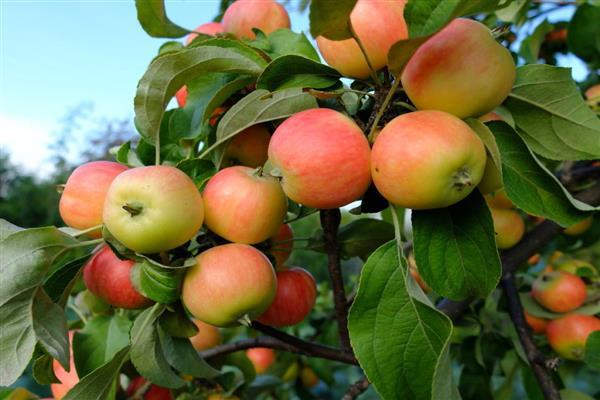 5 лучших деревьев, которые стоит посадить в небольшом саду