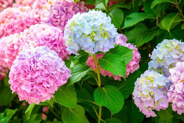 Гортензия всегда обильно цветет — моя схема обрезки куста весной (древовидной и метельчатой)