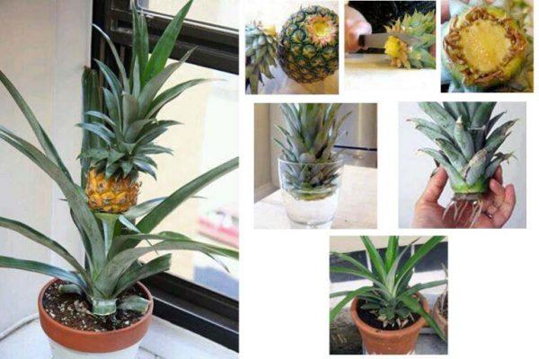Можно ли вырастить дома ананас из купленного в магазине?