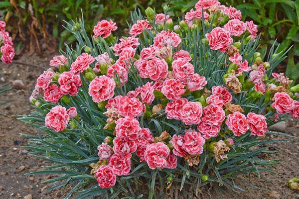 Гвоздика в саду выращивание и уход: краткая информация